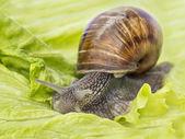 Burgundy snail eating a lettuce leaf — Stock Photo