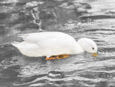 Female Peking duck drinking water on the Seine River (partially monochrome) — ストック写真