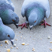 Parisian rock pigeons (Columba livia) at the edge of the Seine — Stock Photo