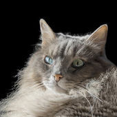 Angora Siberian male cat with odd eyes, isolated, black background — Stock Photo
