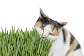 Female cat eating grass, isolated — Zdjęcie stockowe