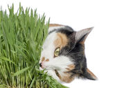 Female cat eating grass, isolated — Stock Photo