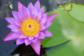 Purple Lotus - purple flowers. — Stock Photo
