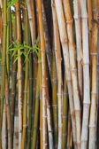 Bamboo. — Stock Photo