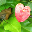 Flamingo flower — Photo