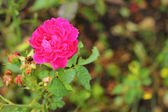 Roses - pink flowers. — Stock Photo