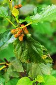 Mulberry on tree — Stock Photo