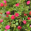 Roses - red flowers pink. — Stock Photo