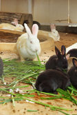 Masses rabbit - eating grass — Stok fotoğraf