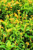 Orange flowers - in the garden. — Stock Photo