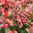 Red leaves - green leaves — Stock Photo