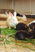 Masses rabbit - eating grass — Stock Photo
