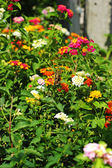 Lantana camara - butterflies swarm Gaysorn flowers. — Stock Photo