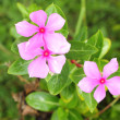 Madagascar Periwinkle - pink flower — Stock Photo