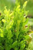 Fern - green leaves — Foto Stock