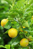 Orange - the smaller citrus fruit trees. — Foto Stock