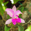Orchid pink. — Stock Photo