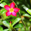 Impala lily adenium - pink flowers — Stock Photo #35774767