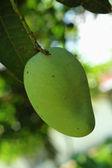 Mango on tree — Stock Photo