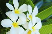 Frangipani flower - white flower — Stock Photo
