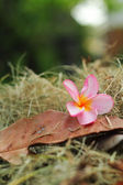 Pink Frangipani flower - the old brown leaves. — Stock Photo