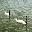 Stock Photo: Swimming a white and black swan.
