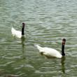 Swimming a white and black swan. — Stock Photo #35782061