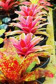 Ananas comosus. — Stock Photo