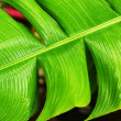 Green banana leaves — Stock Photo