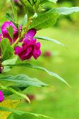 Purple flowers. — Stock Photo