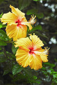 Flowers orange - Hibiscus flower — 图库照片