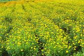 Flower marigold — Stock Photo