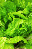 Chinese cabbage — Stockfoto