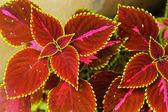绿色和红色的叶子 — 图库照片