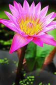 Lotosový květ - růžový květ — Stock fotografie