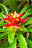 Bromeliad flowers - orange flower — Stock Photo