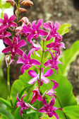 Orchid - purple flowers — Stock Photo