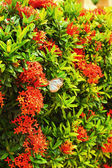 West Indian Jasmine - red flowers with butterflies. — Stock Photo