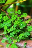 Fortunatamente albero - foglie verdi nel giardino — Foto Stock