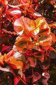 Красные и зеленые листья в саду — Стоковое фото