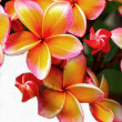 Frangipani flower - pink flowers yellow In nature. — Stock Photo