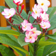 Stock Photo: Frangipani - pink and white flowers in nature.