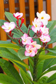 Frangipani - pink and white flowers in nature. — Stock Photo