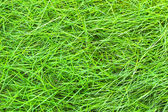 Green grass in the background. — Stock Photo