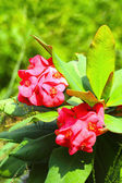 Flowers Poi Sian - red flowers. — Stock Photo