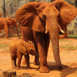 Elephant. Mother with Baby Elephants Walking Outdoors. — Stock Photo #36235967