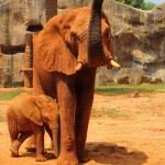 Elephant. Mother with Baby Elephants Walking Outdoors. — Stock Photo #36236073