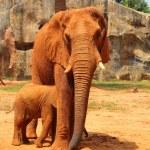 Elephant. Mother with Baby Elephants Walking Outdoors. — Stock Photo #36236089