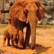 Elephant. Mother with Baby Elephants Walking Outdoors. — Stock Photo #36236211