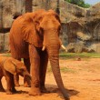 Elephant. Mother with Baby Elephants Walking Outdoors. — Stock Photo #36236221